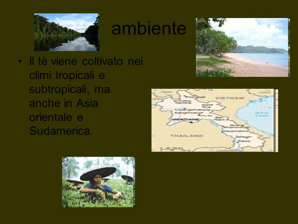ambiente Il tè viene coltivato nei climi tropicali e subtropicali, ma anche in Asia orientale e Sudamerica.