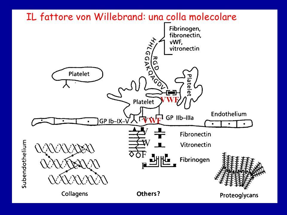 IL fattore von Willebrand: una colla molecolare