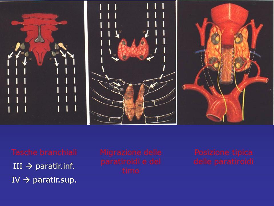 Migrazione delle paratiroidi e del timo