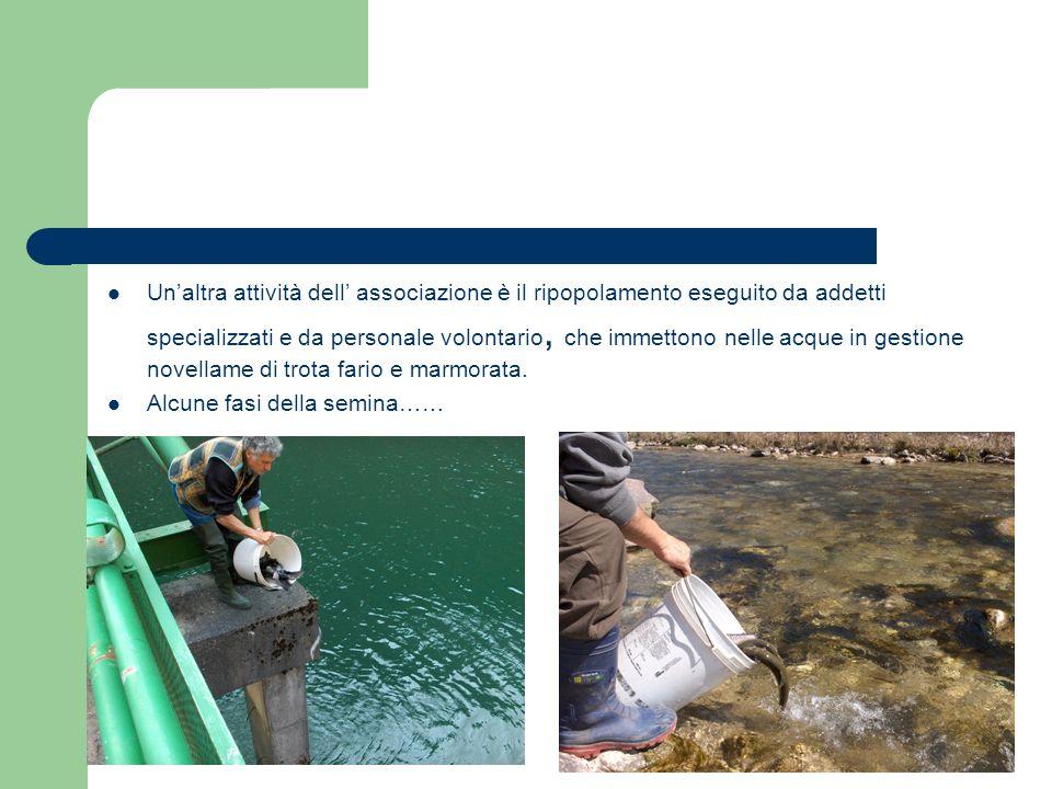 Un'altra attività dell' associazione è il ripopolamento eseguito da addetti specializzati e da personale volontario, che immettono nelle acque in gestione novellame di trota fario e marmorata.