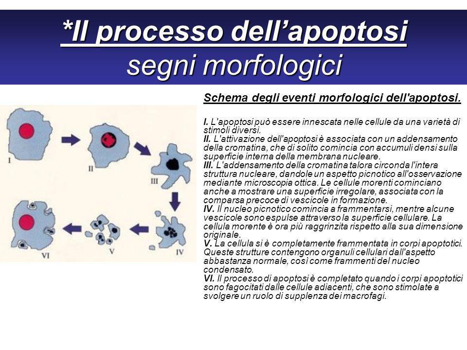 *Il processo dell'apoptosi segni morfologici