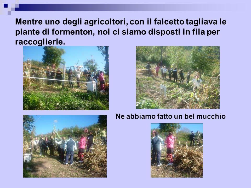 Mentre uno degli agricoltori, con il falcetto tagliava le piante di formenton, noi ci siamo disposti in fila per raccoglierle.