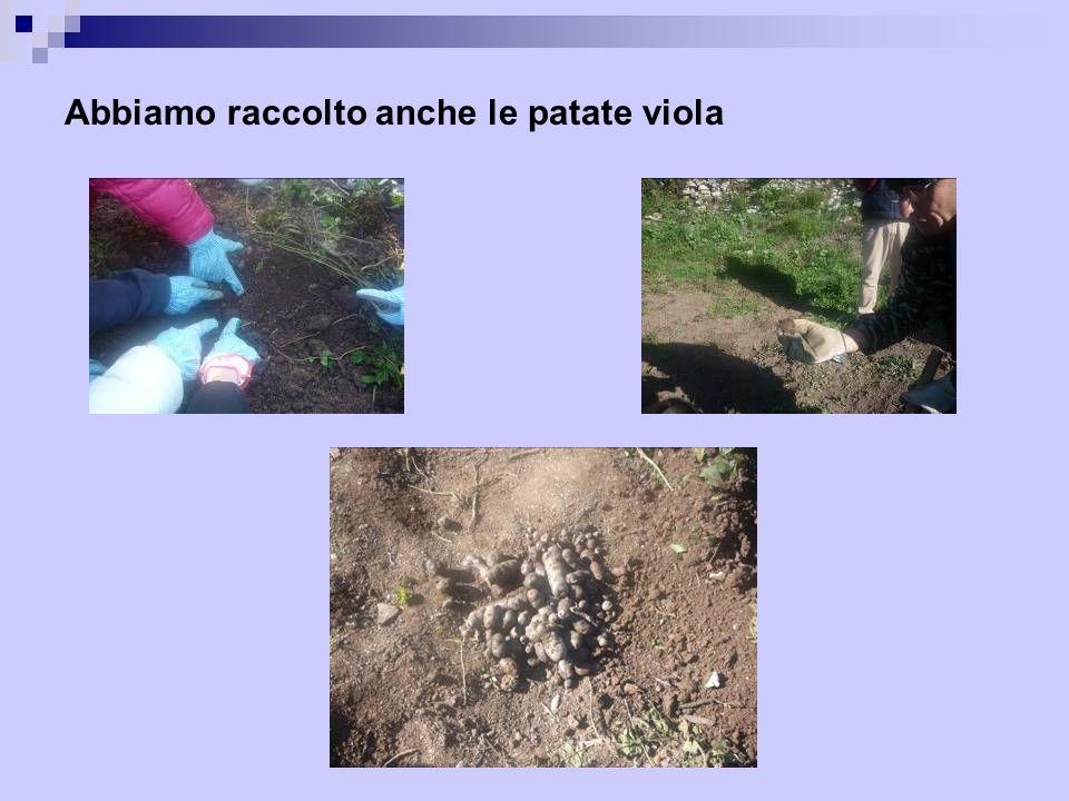 Abbiamo raccolto anche le patate viola