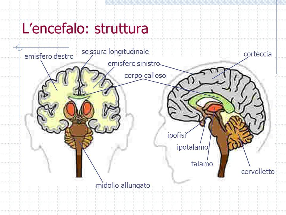 L'encefalo: struttura
