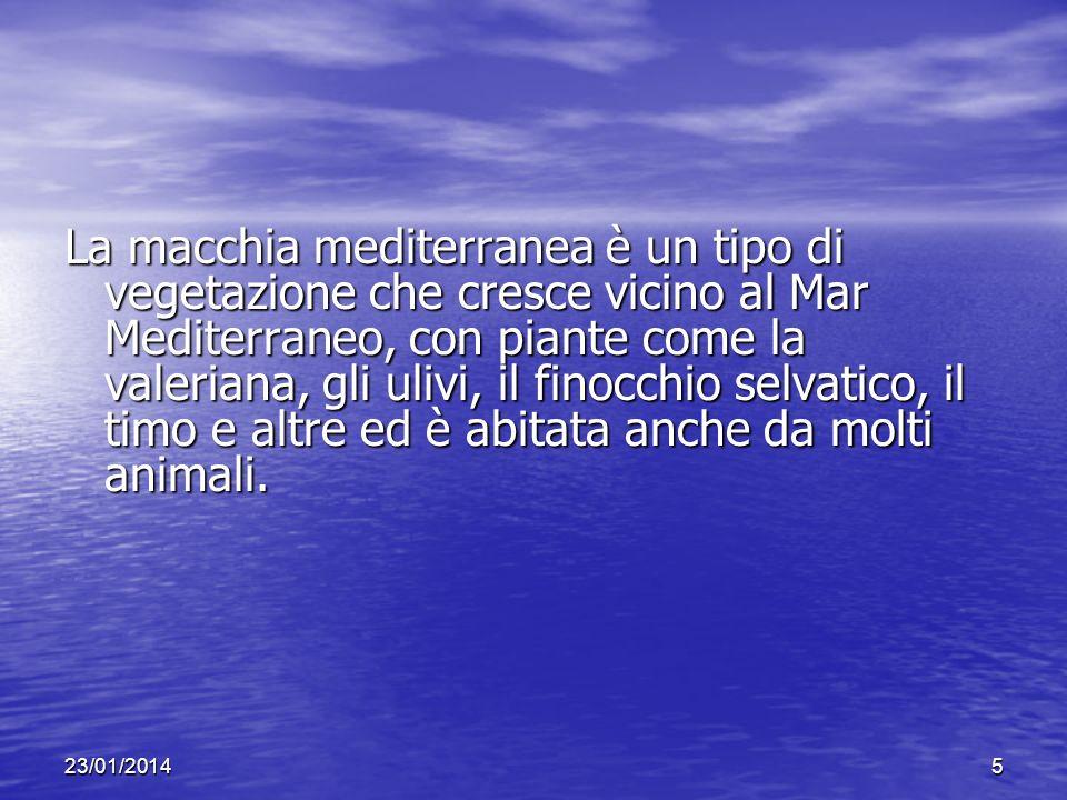 La macchia mediterranea è un tipo di vegetazione che cresce vicino al Mar Mediterraneo, con piante come la valeriana, gli ulivi, il finocchio selvatico, il timo e altre ed è abitata anche da molti animali.
