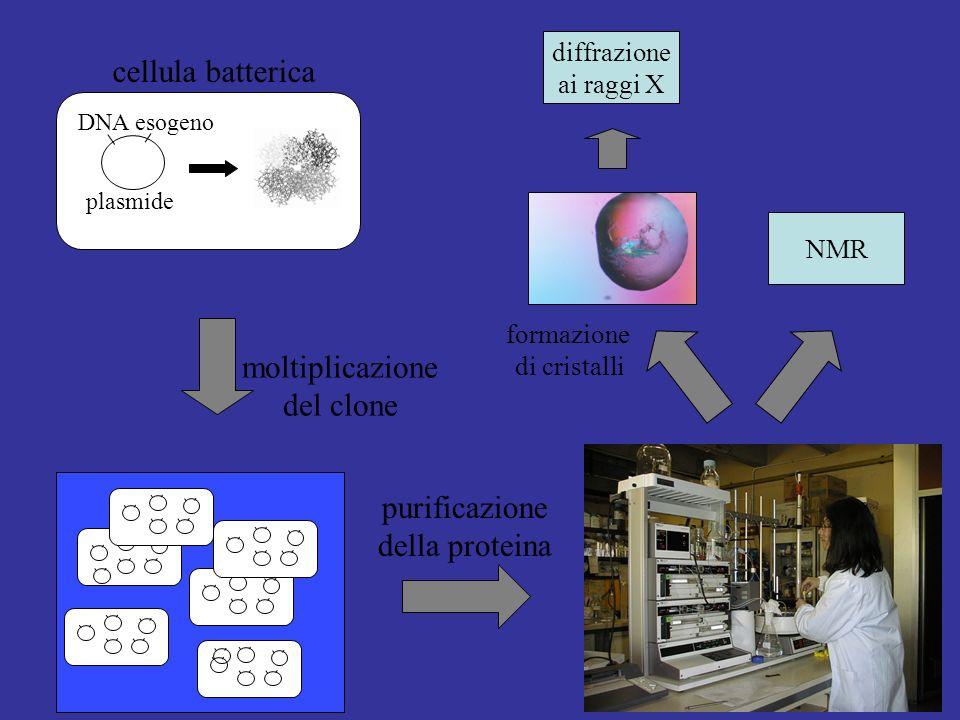cellula batterica moltiplicazione del clone purificazione