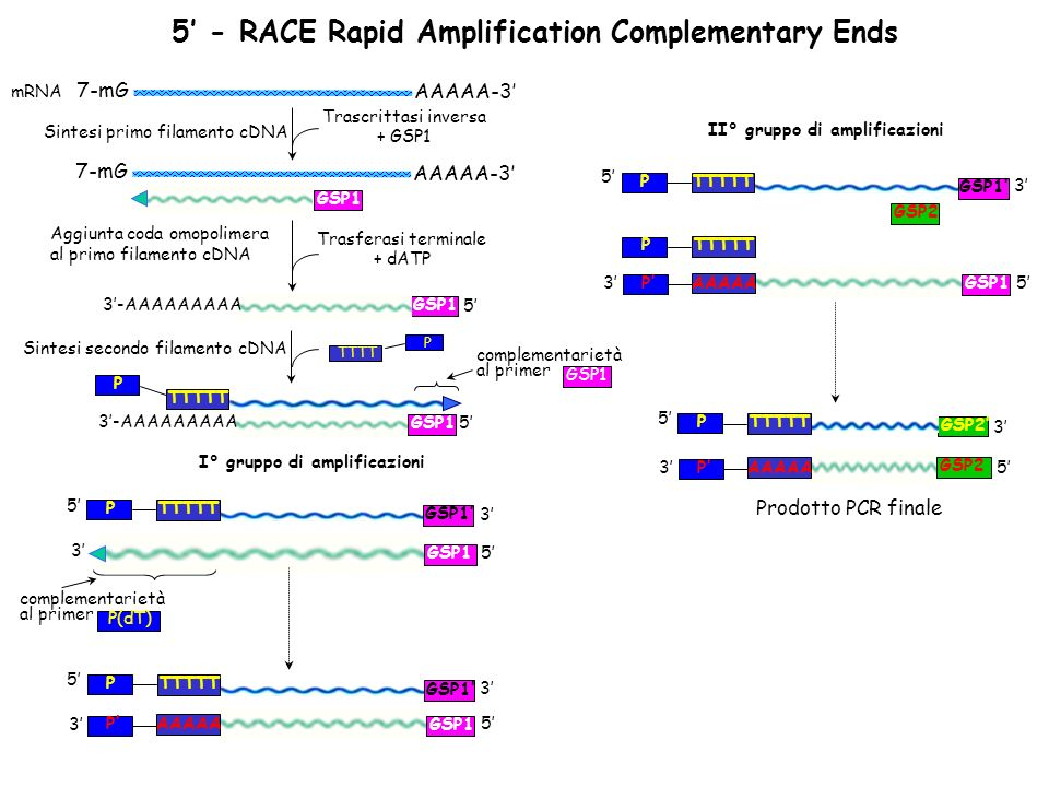 5' - RACE Rapid Amplification Complementary Ends