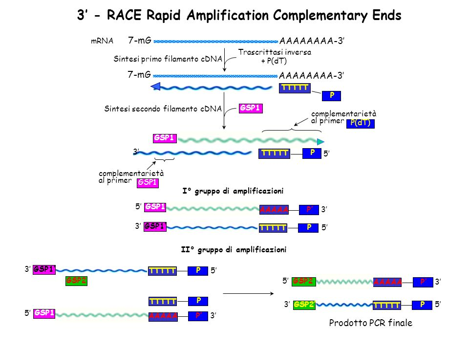 3' - RACE Rapid Amplification Complementary Ends
