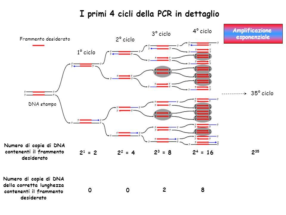Numero di copie di DNA contenenti il frammento desiderato