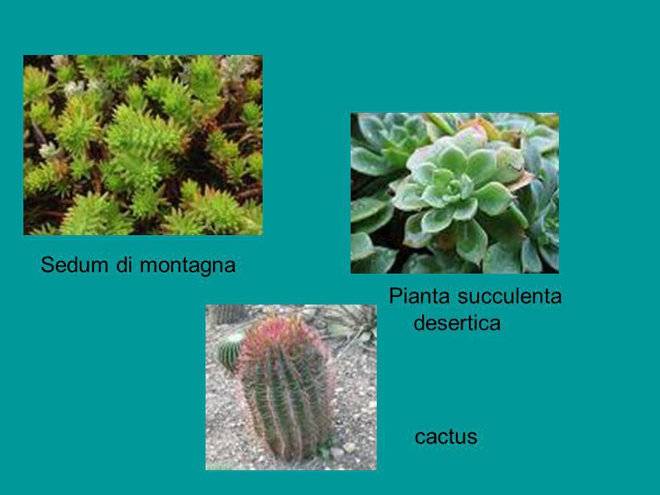 Sedum di montagna Pianta succulenta desertica cactus
