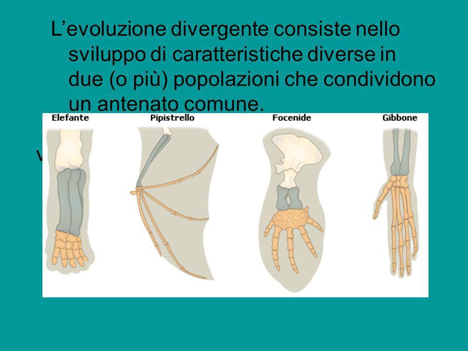 L'evoluzione divergente consiste nello sviluppo di caratteristiche diverse in due (o più) popolazioni che condividono un antenato comune.