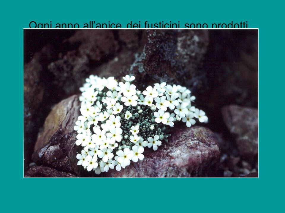 Ogni anno all'apice dei fusticini sono prodotti foglie e fiori nuovi mentre i residui di quelli vecchi rimangono intrappolati nel cuscini stesso venendo col tempo decomposti.