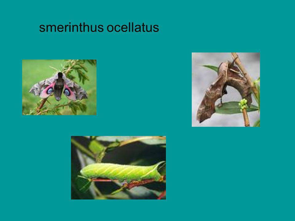 smerinthus ocellatus