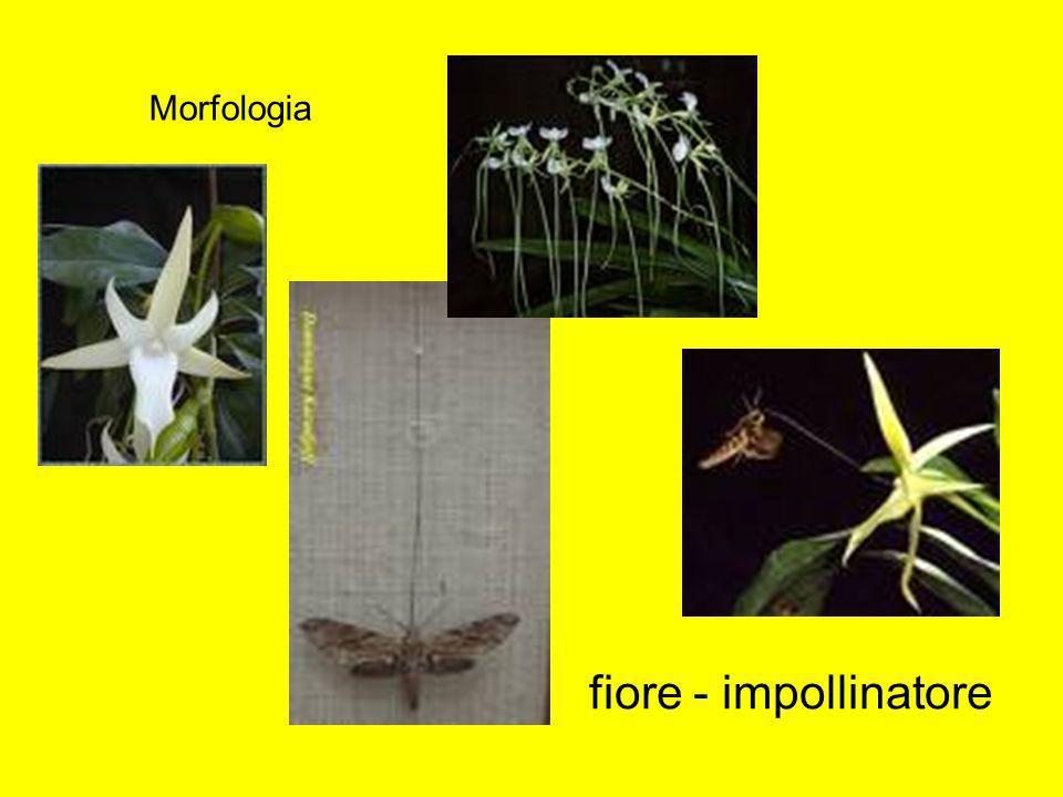Morfologia fiore - impollinatore