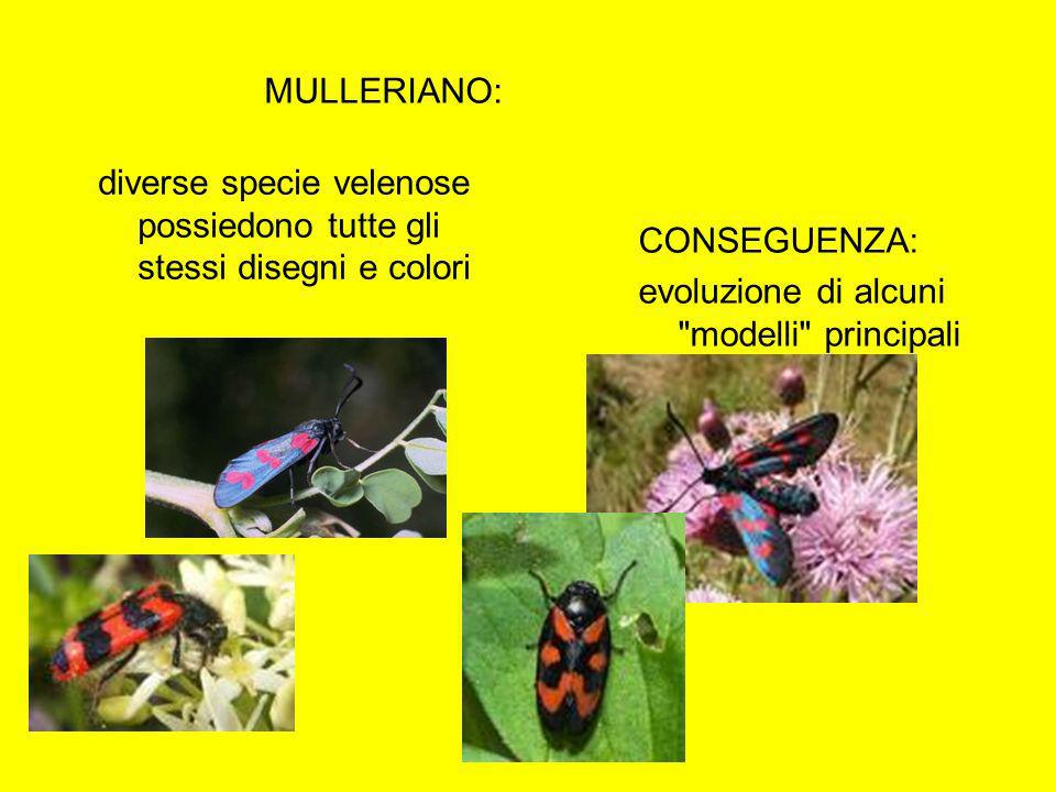MULLERIANO:diverse specie velenose possiedono tutte gli stessi disegni e colori.