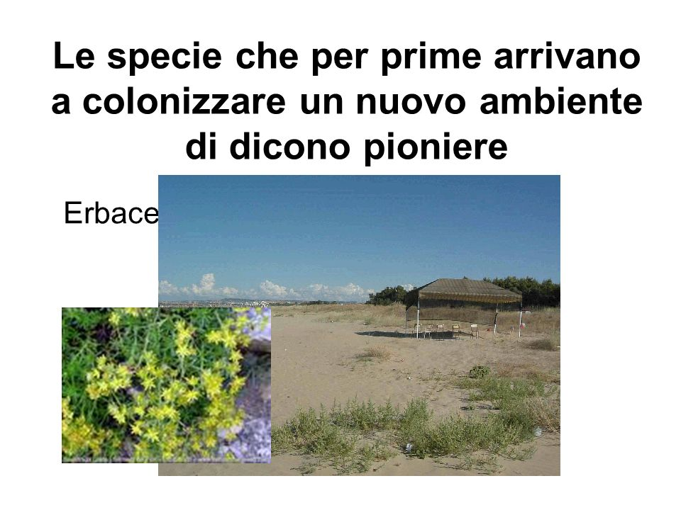 Le specie che per prime arrivano a colonizzare un nuovo ambiente di dicono pioniere