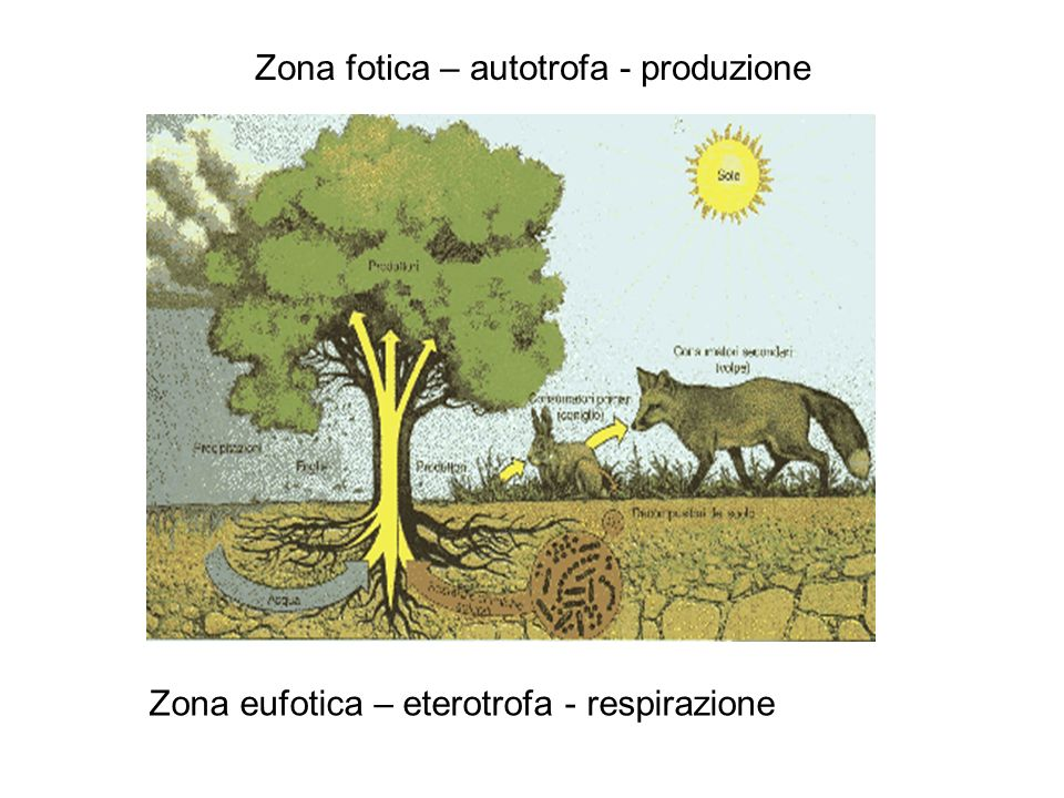 Zona fotica – autotrofa - produzione