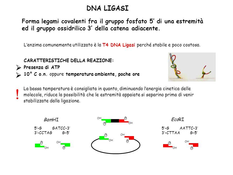 DNA LIGASI Forma legami covalenti fra il gruppo fosfato 5' di una estremità ed il gruppo ossidrilico 3' della catena adiacente.