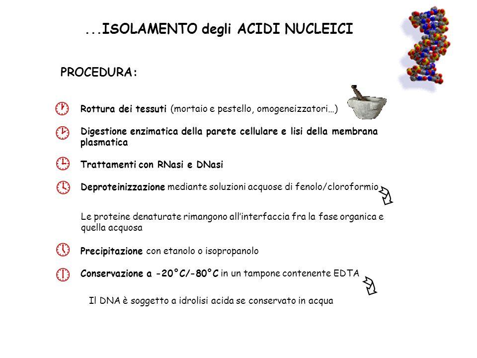        ...ISOLAMENTO degli ACIDI NUCLEICI PROCEDURA: