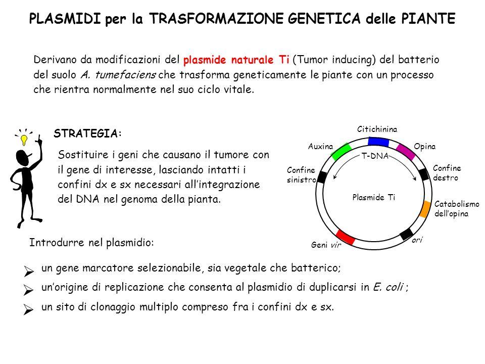  PLASMIDI per la TRASFORMAZIONE GENETICA delle PIANTE