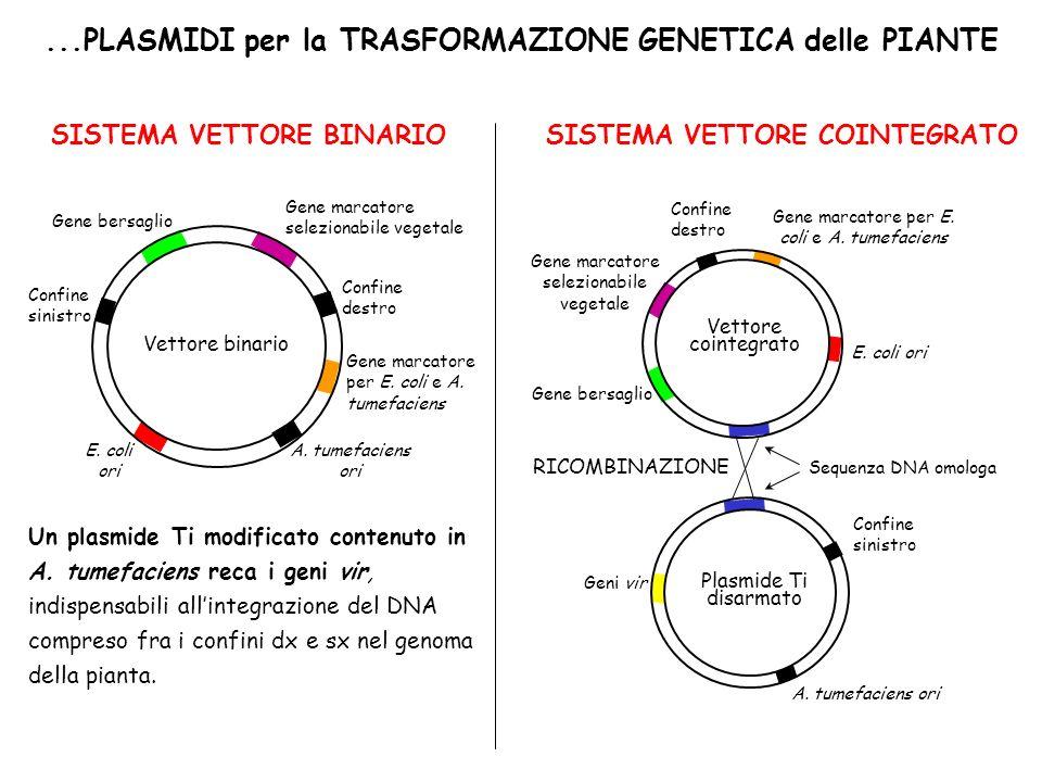 ...PLASMIDI per la TRASFORMAZIONE GENETICA delle PIANTE