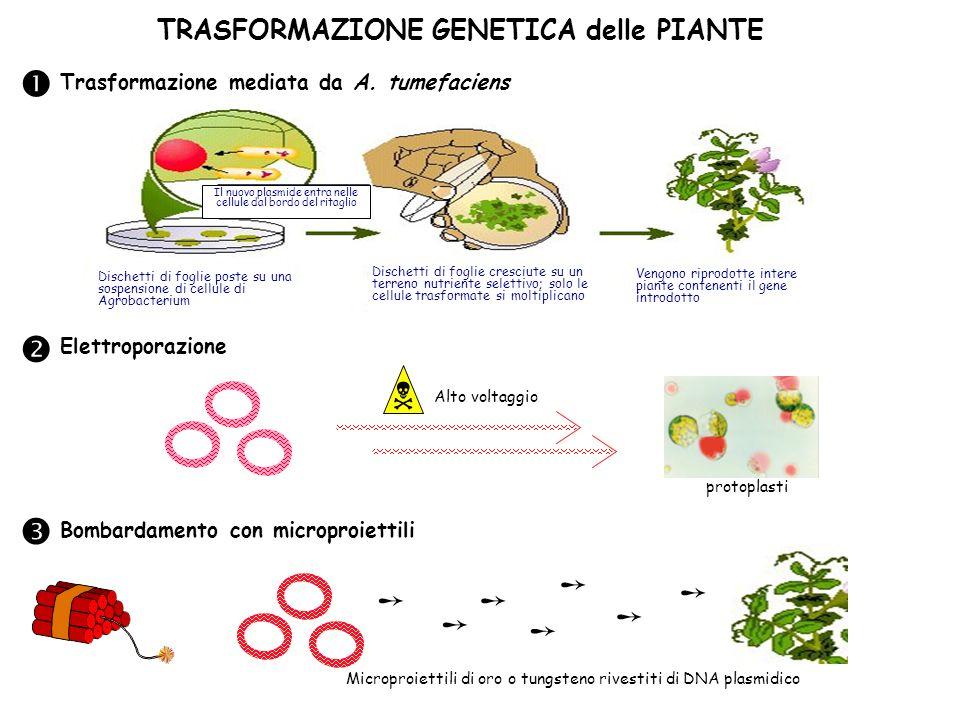 Il nuovo plasmide entra nelle cellule dal bordo del ritaglio