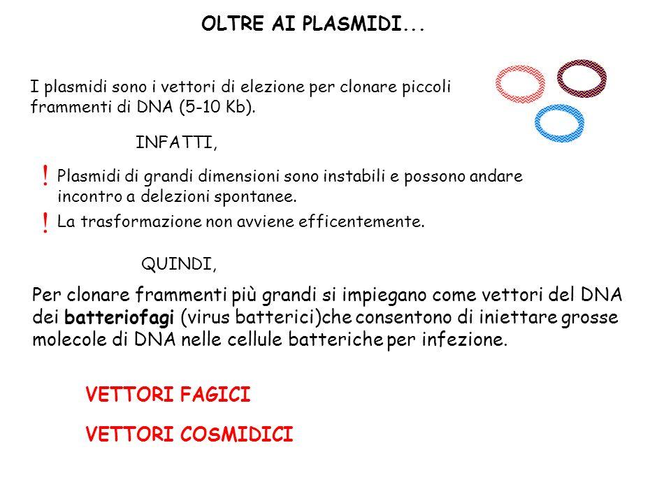 OLTRE AI PLASMIDI... I plasmidi sono i vettori di elezione per clonare piccoli frammenti di DNA (5-10 Kb).