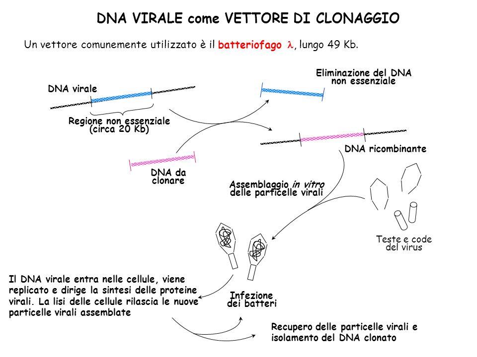DNA VIRALE come VETTORE DI CLONAGGIO