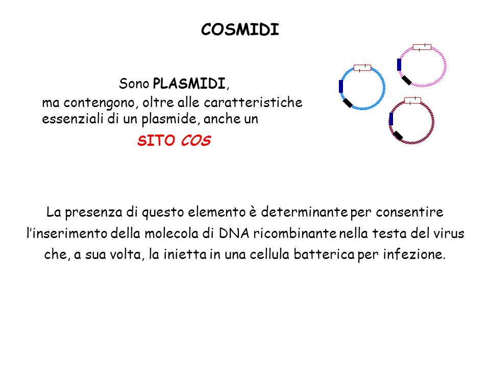 COSMIDI Sono PLASMIDI, ma contengono, oltre alle caratteristiche essenziali di un plasmide, anche un.