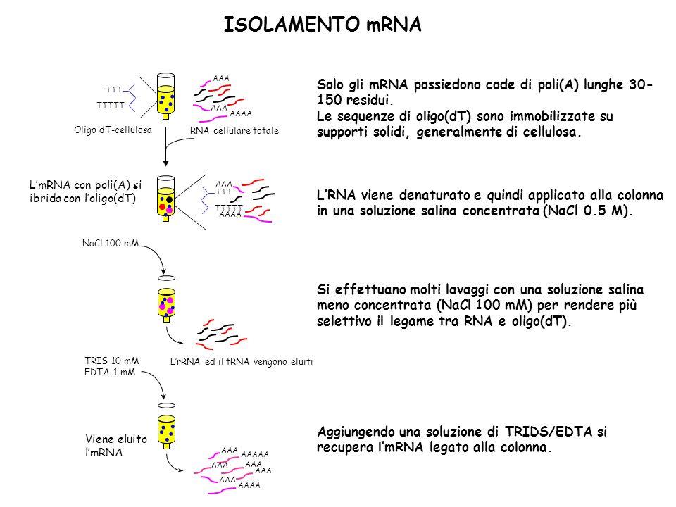 ISOLAMENTO mRNA AAA. AAAA. RNA cellulare totale. TTT. TTTTT. Oligo dT-cellulosa. . AAAAA. NaCl 100 mM.