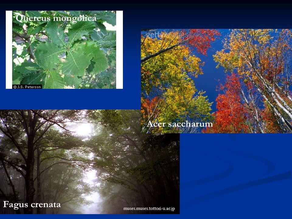 Quercus mongolica Acer saccharum Fagus crenata