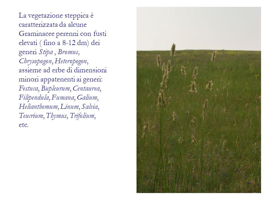 La vegetazione steppica è caratterizzata da alcune Graminacee perenni con fusti elevati ( fino a 8-12 dm) dei generi Stipa , Bromus, Chrysopogon, Heteropogon, assieme ad erbe di dimensioni minori appatenenti ai generi: Festuca, Bupleurum, Centaurea, Filipendula, Fumana, Galium, Helianthemum, Linum, Salvia, Teucrium, Thymus, Trifolium, etc.