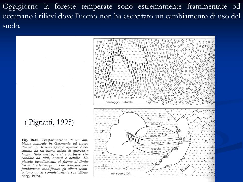 Oggigiorno la foreste temperate sono estremamente frammentate od occupano i rilievi dove l'uomo non ha esercitato un cambiamento di uso del suolo.