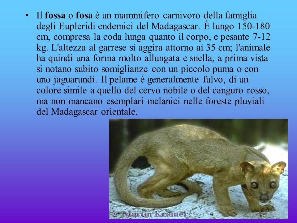 Il fossa o fosa è un mammifero carnivoro della famiglia degli Eupleridi endemici del Madagascar.