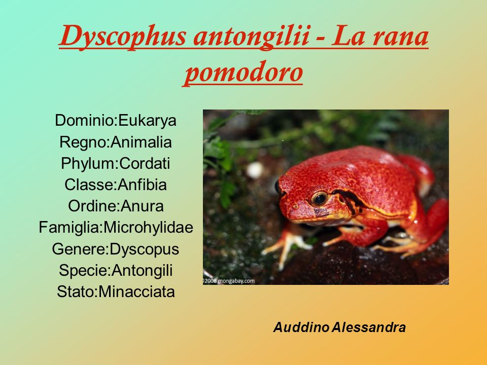 Dyscophus antongilii - La rana pomodoro
