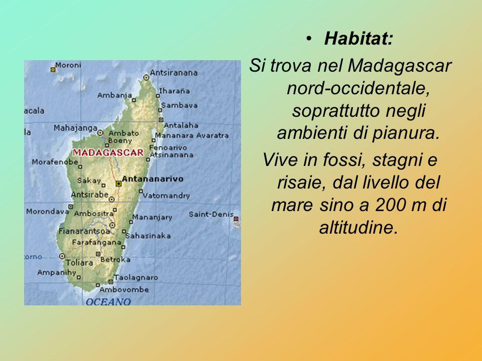 Habitat:Si trova nel Madagascar nord-occidentale, soprattutto negli ambienti di pianura.