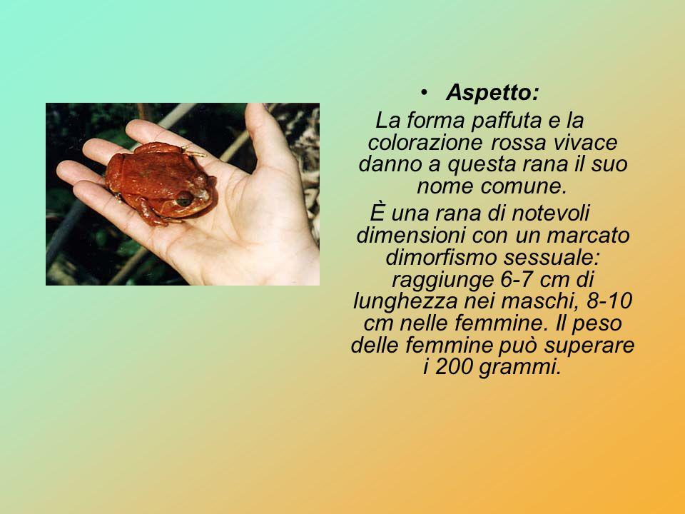 Aspetto: La forma paffuta e la colorazione rossa vivace danno a questa rana il suo nome comune.