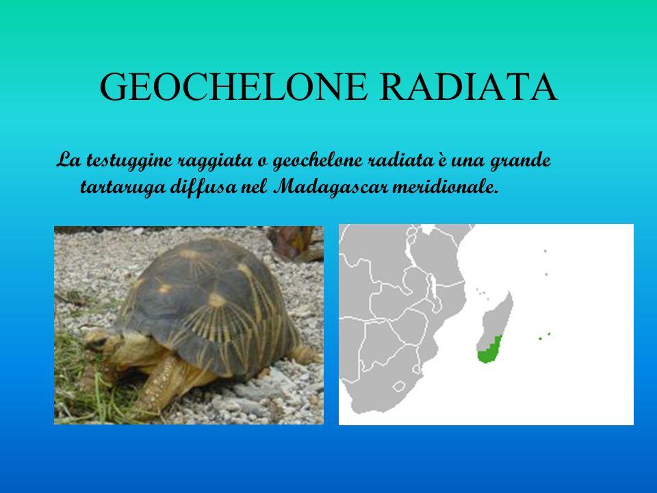 GEOCHELONE RADIATA La testuggine raggiata o geochelone radiata è una grande tartaruga diffusa nel Madagascar meridionale.