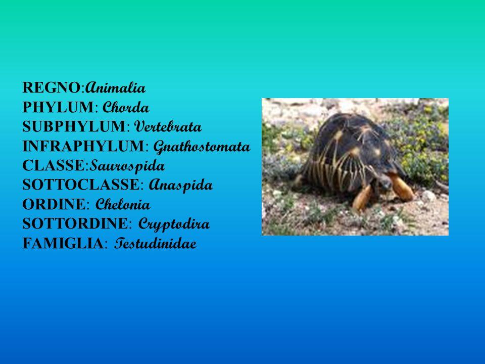 REGNO:Animalia PHYLUM: Chorda. SUBPHYLUM: Vertebrata. INFRAPHYLUM: Gnathostomata. CLASSE:Saurospida.
