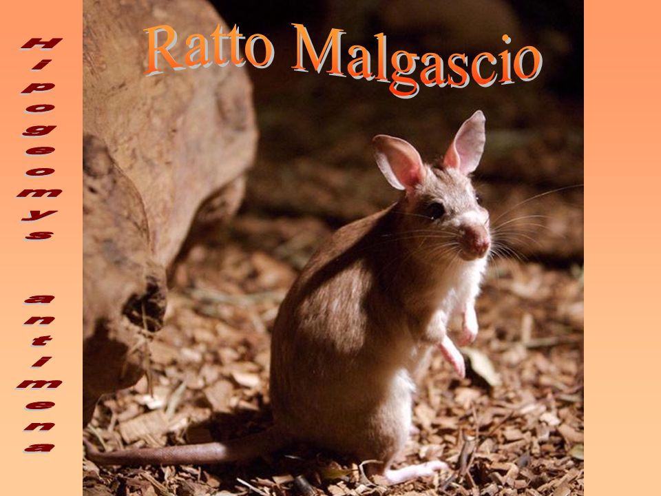 Ratto Malgascio Hipogeomys antimena