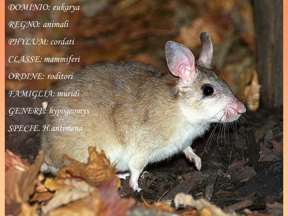 DOMINIO: eukarya REGNO: animali. PHYLUM: cordati. CLASSE: mammiferi. ORDINE: roditori. FAMIGLIA: muridi.