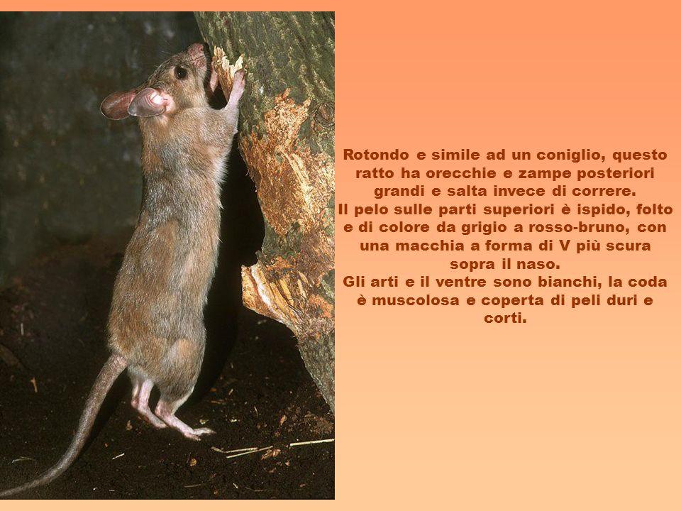 Rotondo e simile ad un coniglio, questo ratto ha orecchie e zampe posteriori grandi e salta invece di correre.