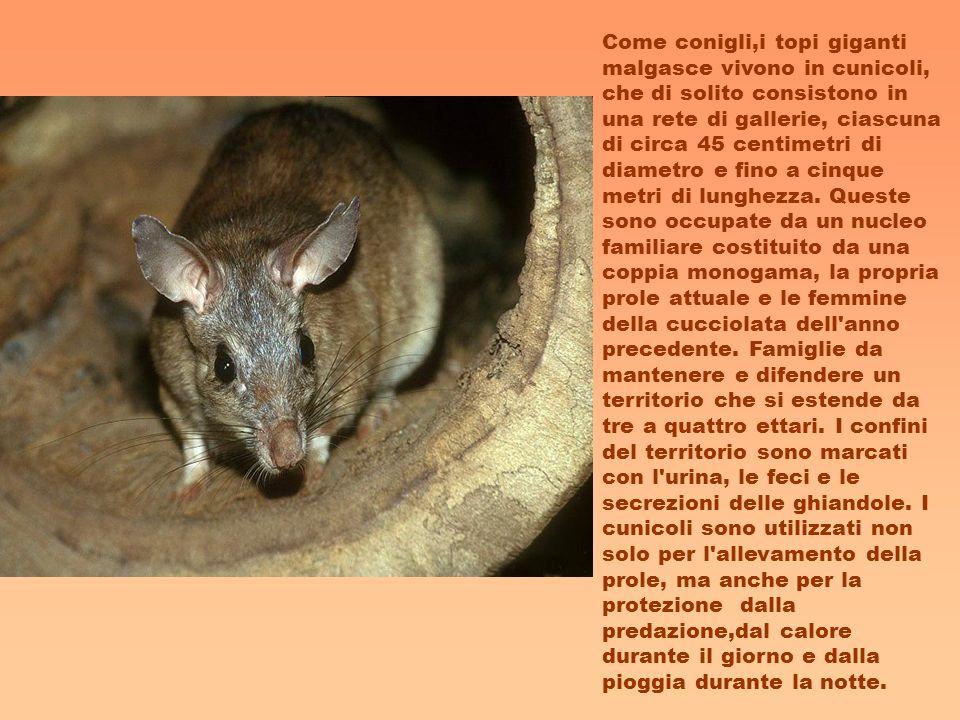 Come conigli,i topi giganti malgasce vivono in cunicoli, che di solito consistono in una rete di gallerie, ciascuna di circa 45 centimetri di diametro e fino a cinque metri di lunghezza.