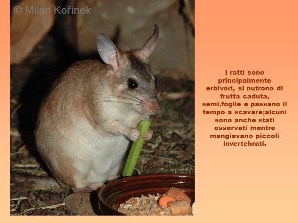 I ratti sono principalmente erbivori, si nutrono di frutta caduta, semi,foglie e passano il tempo a scavare;alcuni sono anche stati osservati mentre mangiavano piccoli invertebrati.