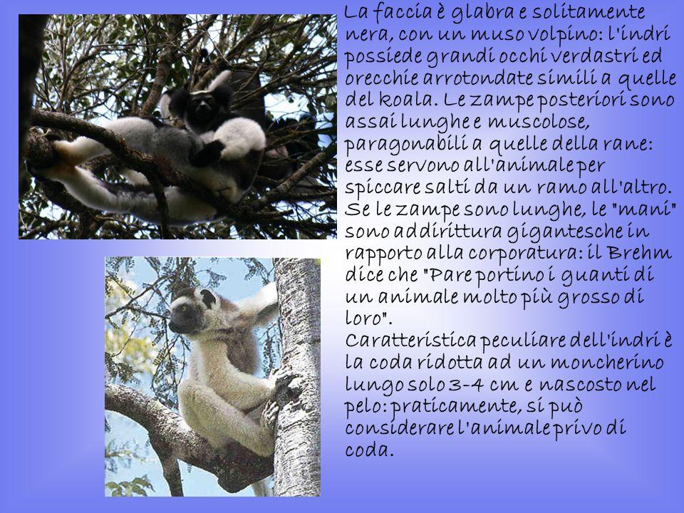 La faccia è glabra e solitamente nera, con un muso volpino: l indri possiede grandi occhi verdastri ed orecchie arrotondate simili a quelle del koala.