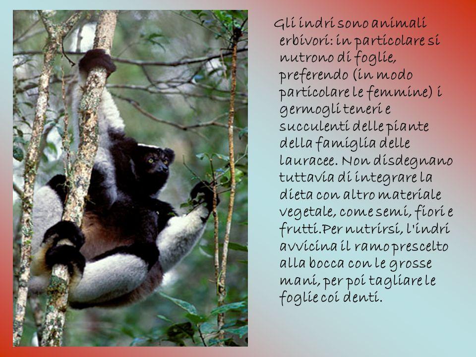 Gli indri sono animali erbivori: in particolare si nutrono di foglie, preferendo (in modo particolare le femmine) i germogli teneri e succulenti delle piante della famiglia delle lauracee.