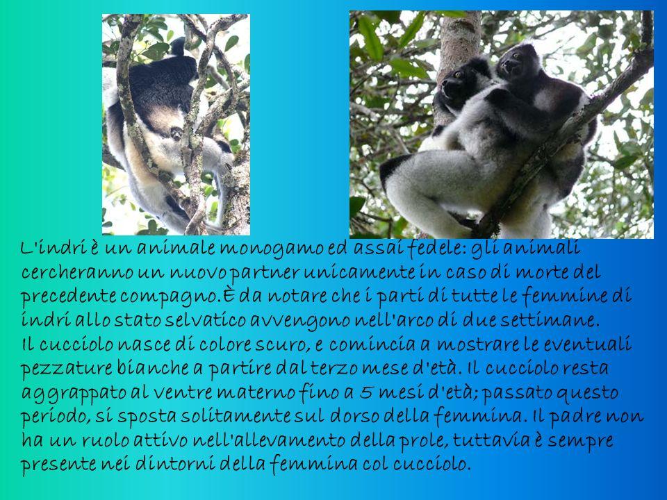 L indri è un animale monogamo ed assai fedele: gli animali cercheranno un nuovo partner unicamente in caso di morte del precedente compagno.È da notare che i parti di tutte le femmine di indri allo stato selvatico avvengono nell arco di due settimane.