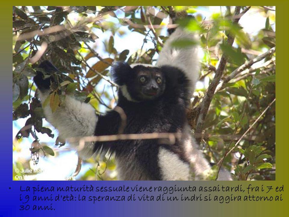 La piena maturità sessuale viene raggiunta assai tardi, fra i 7 ed i 9 anni d età: la speranza di vita di un indri si aggira attorno ai 30 anni.