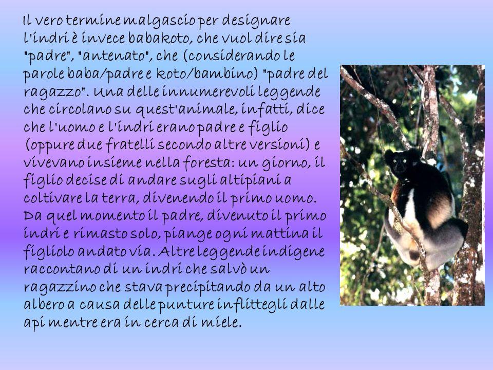 Il vero termine malgascio per designare l indri è invece babakoto, che vuol dire sia padre , antenato , che (considerando le parole baba/padre e koto/bambino) padre del ragazzo .