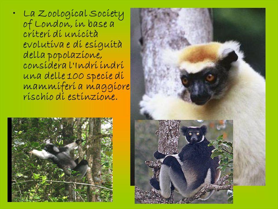 La Zoological Society of London, in base a criteri di unicità evolutiva e di esiguità della popolazione, considera l Indri indri una delle 100 specie di mammiferi a maggiore rischio di estinzione.
